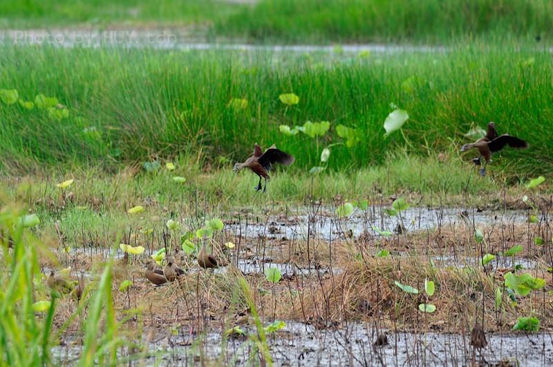 Bầy le le kiếm ăn trên đồng