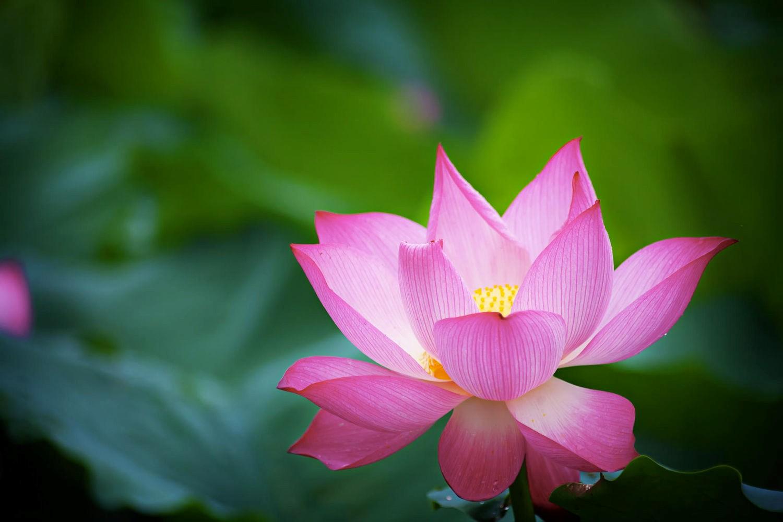Sen hồng đẹp lung linh giữa đầm