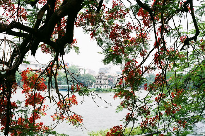 Những chùm hoa phượng đầu mùa ở góc hồ Gươm