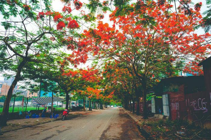 Có những con đường rợp sắc hoa phượng đỏ đẹp ngỡ ngàng ở Hà thành