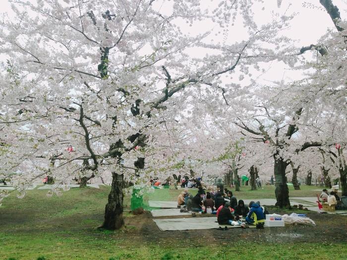 Người Nhật thưởng hoa trong công viên hoa anh đào
