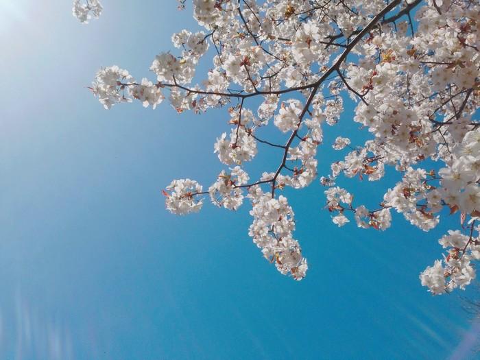 Hoa anh đào có rất nhiều loại, mỗi loại một màu sắc khác nhau