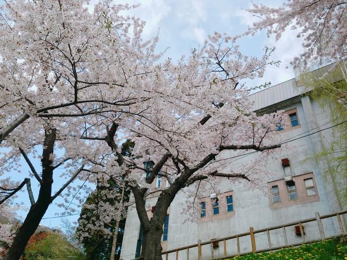 Sakura đẹp hơn khi nở cùng một lúc