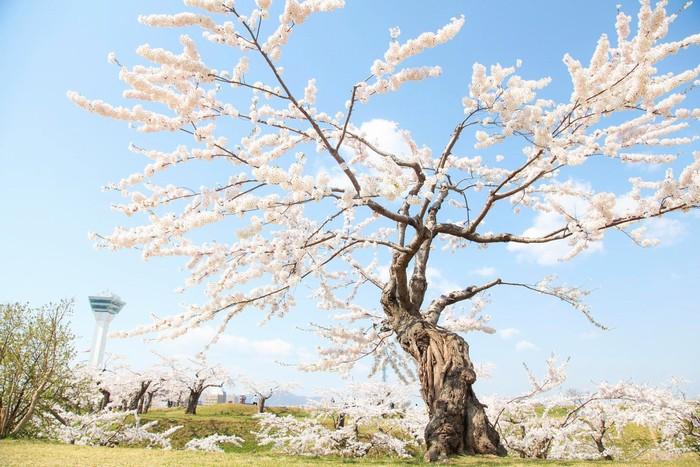 Một cây anh đào cổ thụ trong pháo đài ngôi sao ở Hakodate