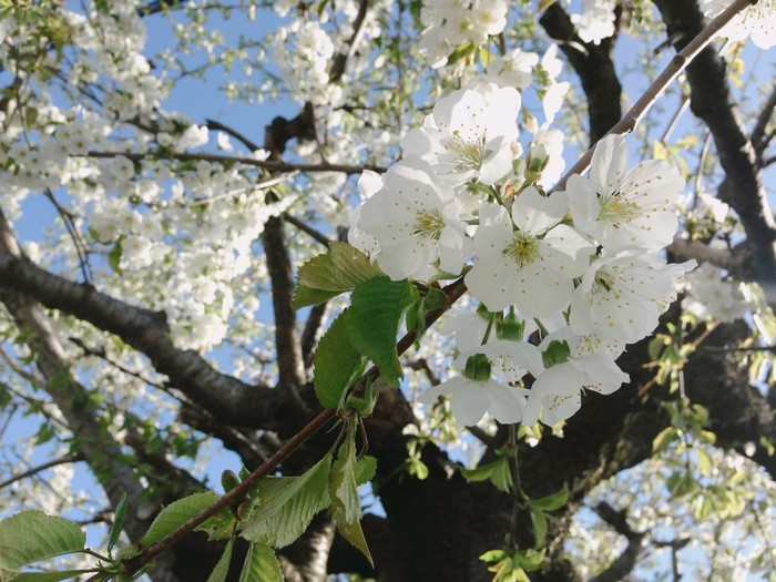 Hoa anh đào trắng cũng đua nở trên đảo Hokkaido