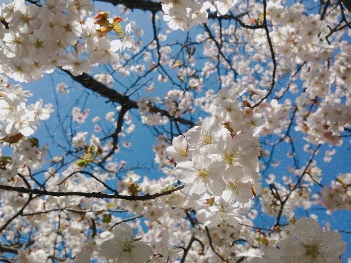 Sakura chỉ nở đẹp nhất trong khoảng 2 đến 3 tuần