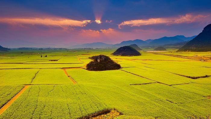Những ruộng cải vàng trải dài đến tận đường chân trời