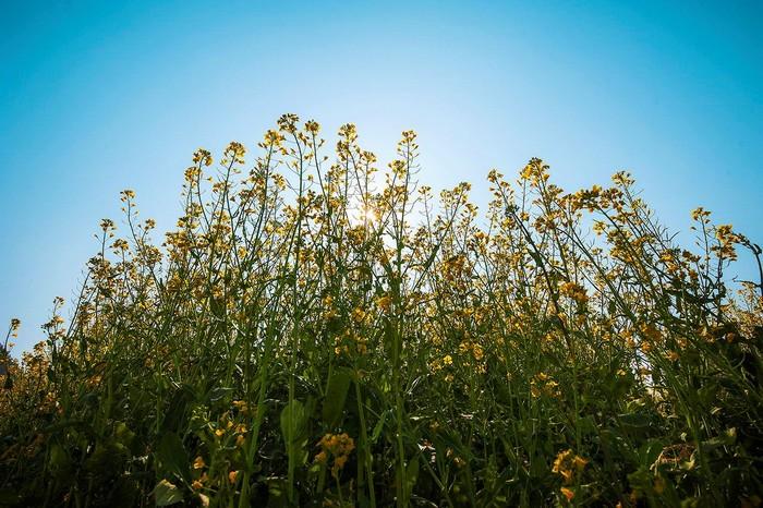 Hoa cải vươn cao hòa mình cùng những vạt nắng vàng ấm áp của ngày xuân