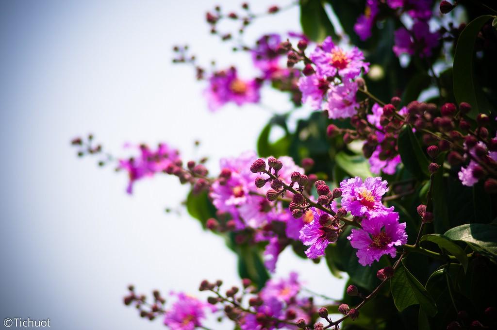 """Có một loài hoa dịu dàng như thế giữa mùa hạ """"rực lửa"""" ở đất thủ đô"""