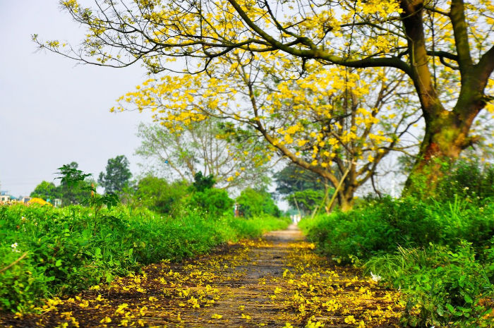 Con đường hoa điệp vàng đẹp như tranh vẽ