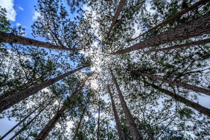 Rừng thông cao vút - Ảnh: Duy Hùng