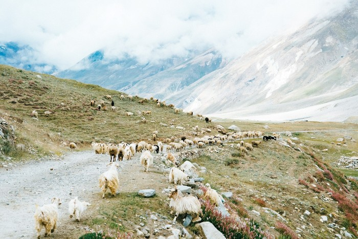 Đàn gia súc du mục lang thang kiếm ăn