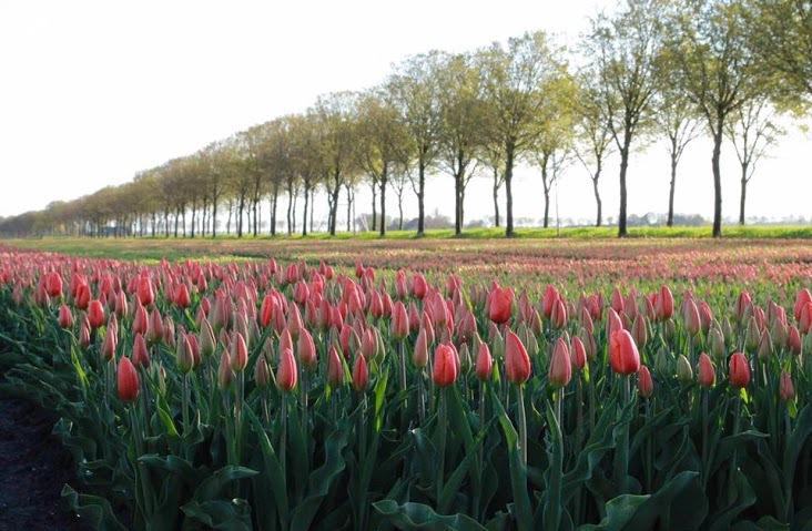 Thời điểm này, làng Beemster như được khoác lên mình tấm áo đẹp nhất, bởi các loài hoa tulip đua nhau khoe sắc với đủ màu, khiến khung cảnh càng trở nên thơ mộng.