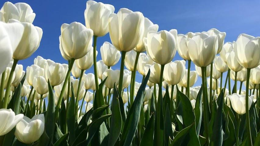 Tulip hay còn có tên khác là uất kim hương, có khoảng hơn 100 loại giống trên khắp thế giới. Hoa có bông đơn, bông kép… màu sắc đa dạng như đỏ, hồng, vàng, trắng...