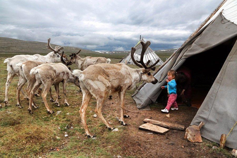 Người Dukha không ăn thịt vật nuôi của mình, trừ khi đó là những con vật không có khả năng đi lại.