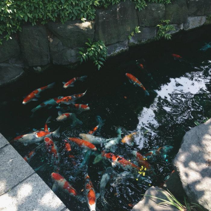 Cá chép Koi - loại cá cực kỳ đắt ở Nhật trong khuôn viên đền Sensoji