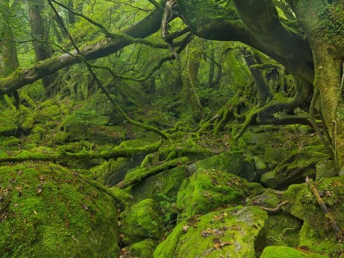 Rừng cây ở Yakushima