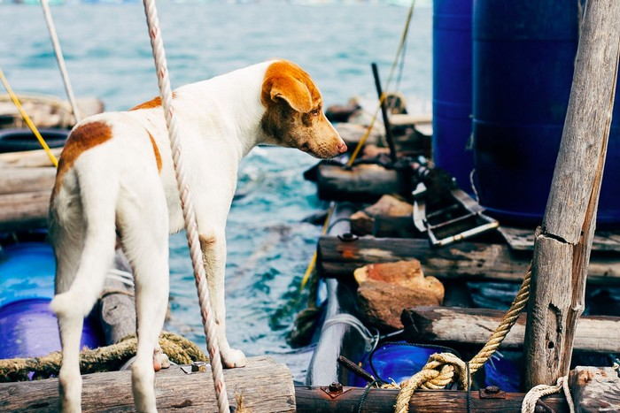 Chó Phú Quốc nổi tiếng khôn lanh còn biết bắt cá
