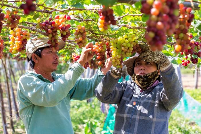 Vườn nho Phan Thiết sai trĩu quả