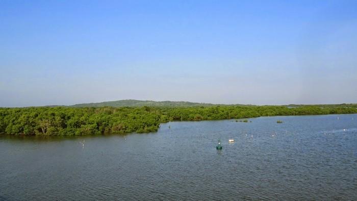 Cả rừng ngập mặn xanh rì được nhìn từ trên cầu