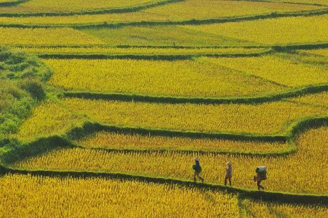 Mùa lúa chín mang đến sự trù phú cho Pù Luông