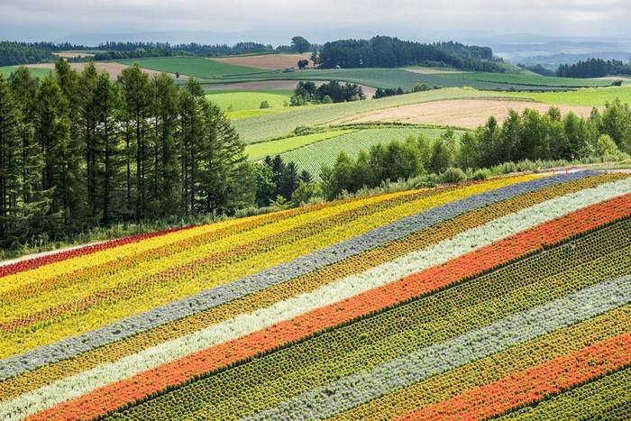 Cánh đồng hoa Furano rực rỡ giữa mùa xuân