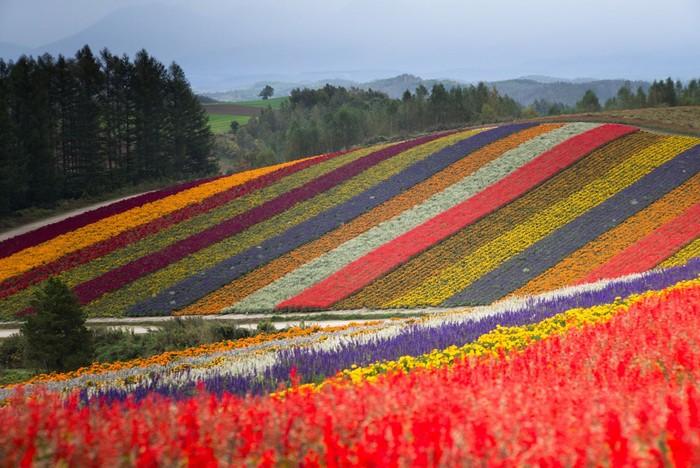 Những gam màu sặc sỡ của cánh đồng hoa Furano
