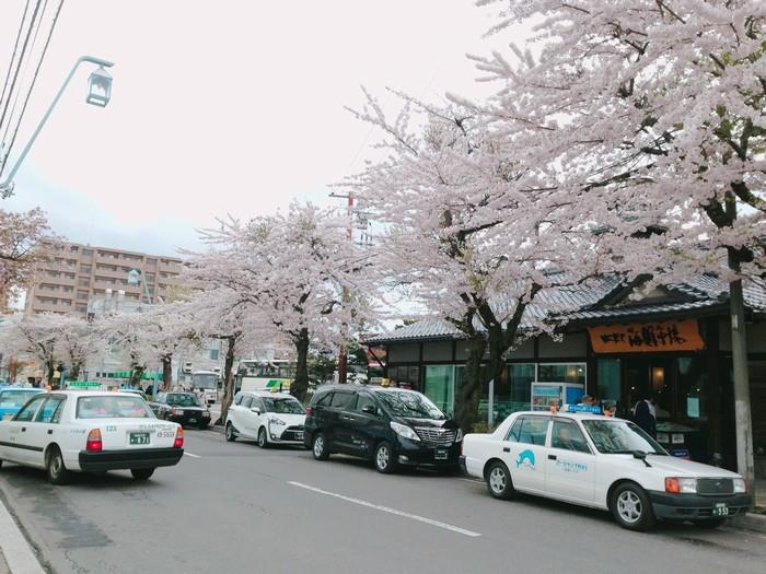 Hoa anh đào khoe sắc trên phố ở Hakodate