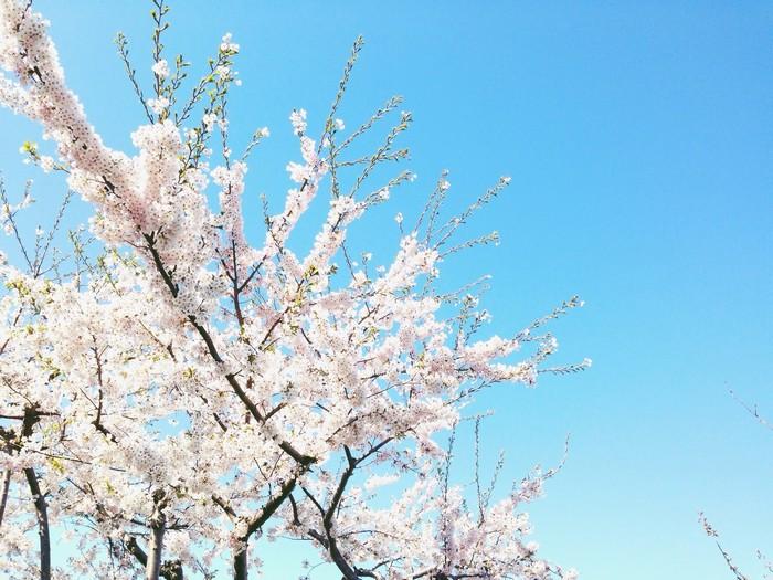 Hoa anh đào nở vào mùa xuân ở Higashikawa