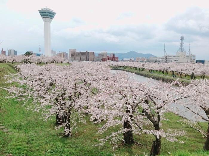 Góc pháo đài Goryokaku hồng rực vào mùa hoa anh đào