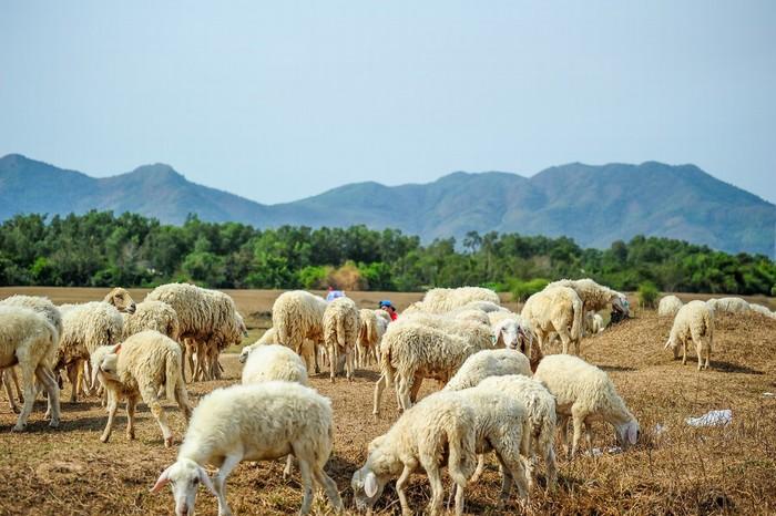 Ngẩn ngơ cùng đàn cừu xinh