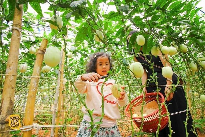 Bé gái thích thú thu hoạch dưa