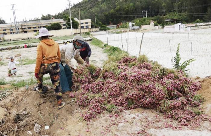 Mỗi năm hai vụ, tháng 8 là giai đoạn cuối của mùa hành trước cách đó 3 tháng. Thời điểm này, nông dân trên đảo vừa thu hoạch vừa bắt đầu làm đất để tái gieo trồng cho vụ sau.