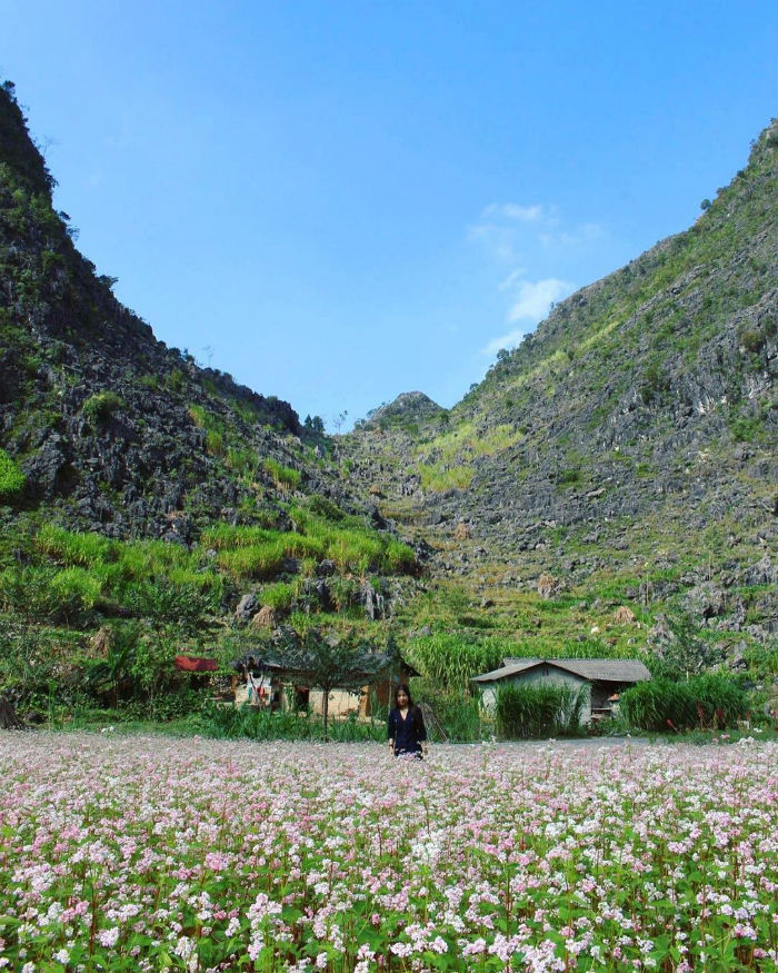 Đến Hà Giang tháng 10 ngắm mùa hoa tam giác mạch