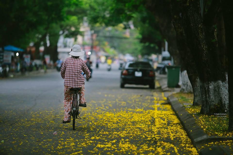 Hoa phượng vàng gần giống về hình dáng cây và lá như phượng vĩ, nhưng bông nhỏ hơn và màu hoa vàng nghệ.
