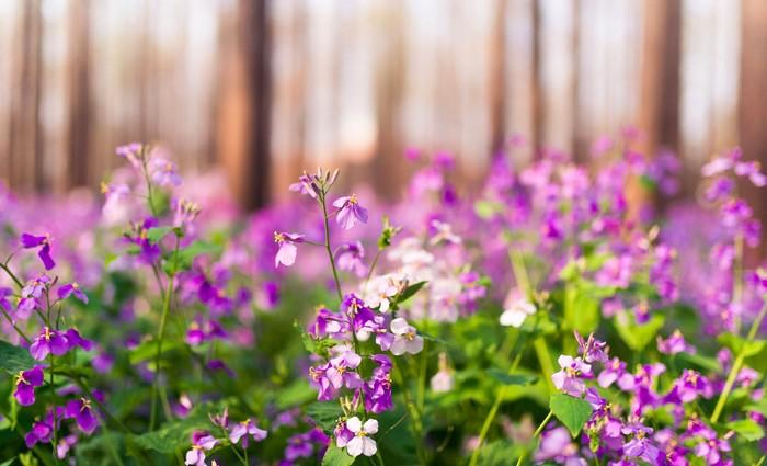 Lãng mạn vườn violet