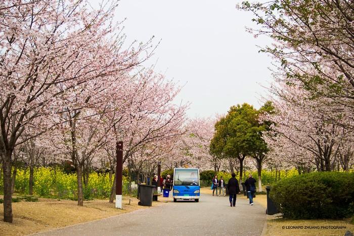 Công viên Gucun ngập sắc anh đào