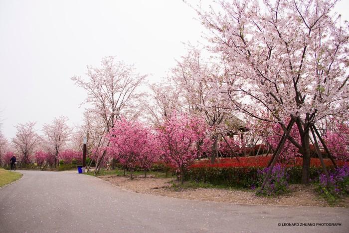 Cung đường anh đào lãng mạn ở Gucun