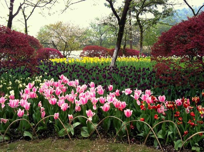 Vườn hoa tulip tại công viên Hàng Châu