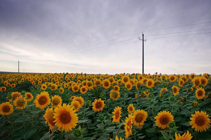 Vườn hoa hướng dương ở Tân Cương (Xinjiang)