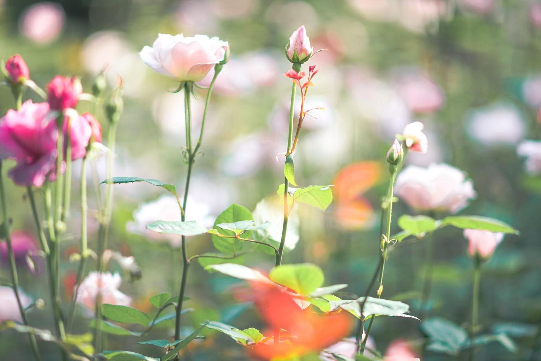 Sắc hồng lung linh ở công viên tỉnh Quảng Đông
