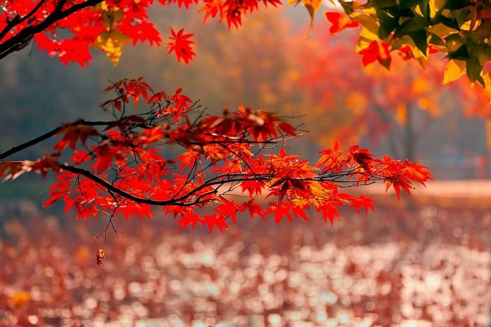 Cánh rừng lá phong lãng mạn ở núi TianPing