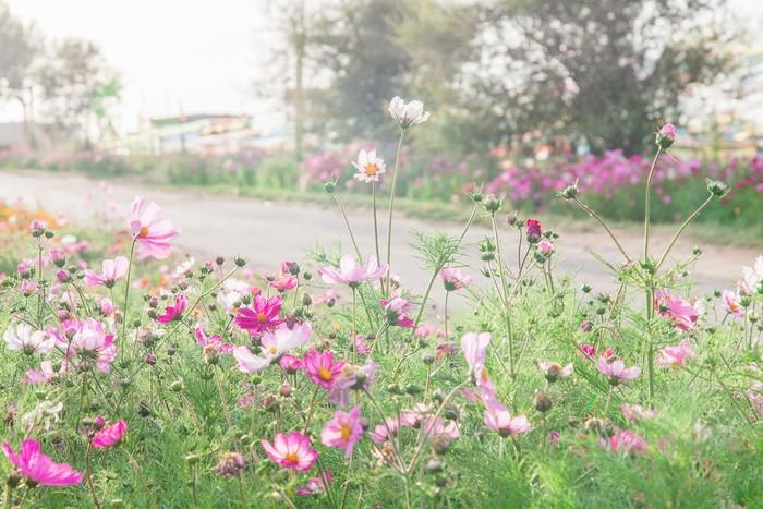 Hoa cánh bướm mọc bên vệ đường Thanh Hải