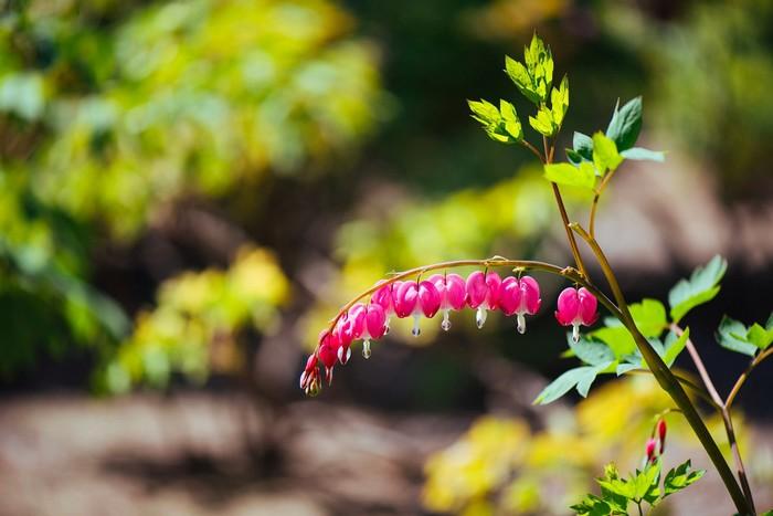 Hoa giọt tuyết ở công viên Cảnh Sơn