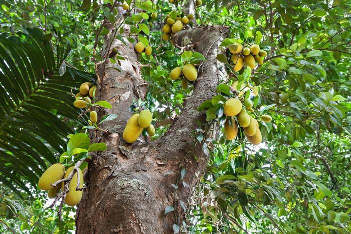 Cây mít với hàng chục trái sum xuê