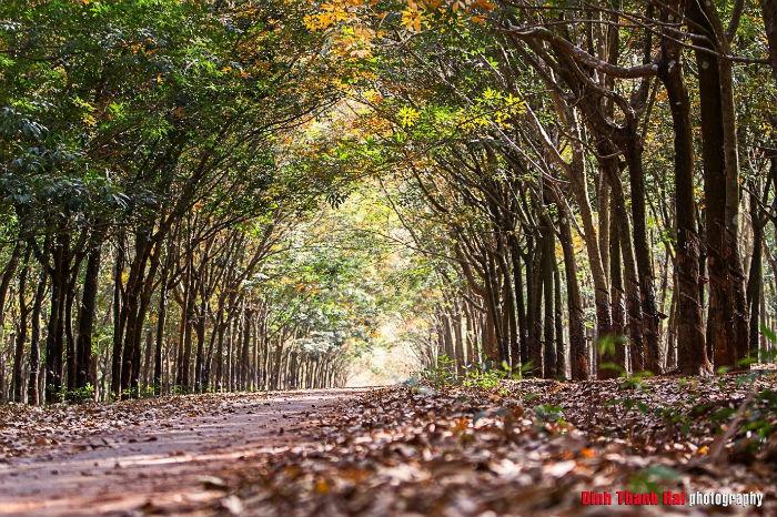 Rừng cao su Bình Phước mùa thay lá