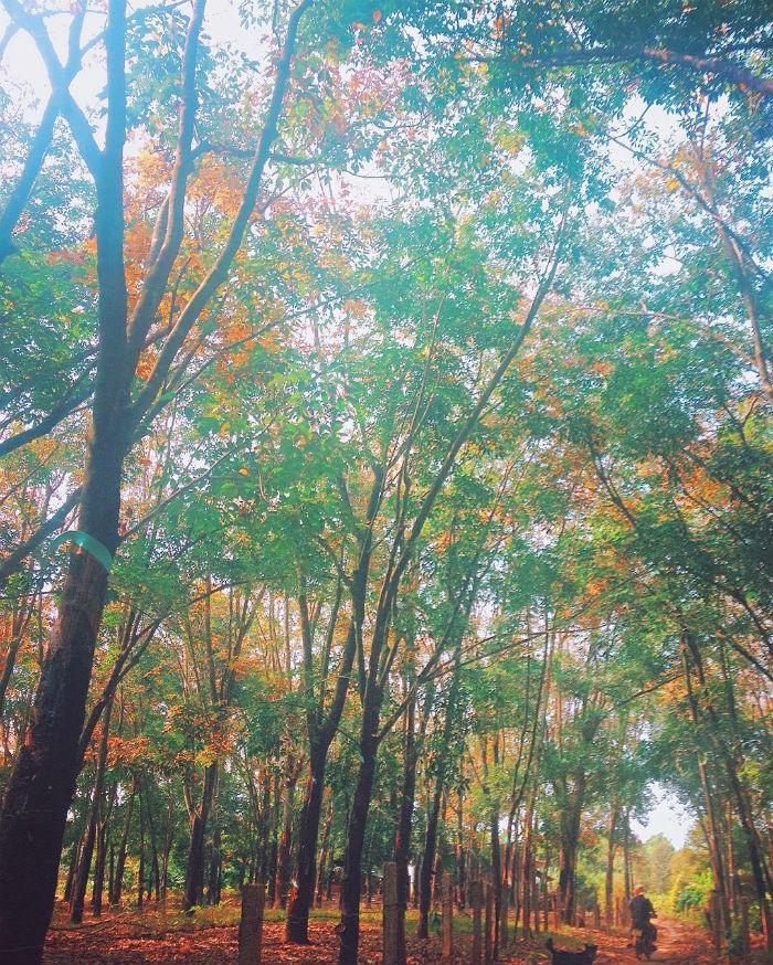 Lạc bước giữa rừng cao su