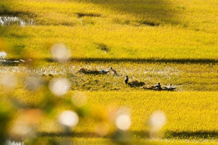 Lúa ở những thửa ruộng đã gặt