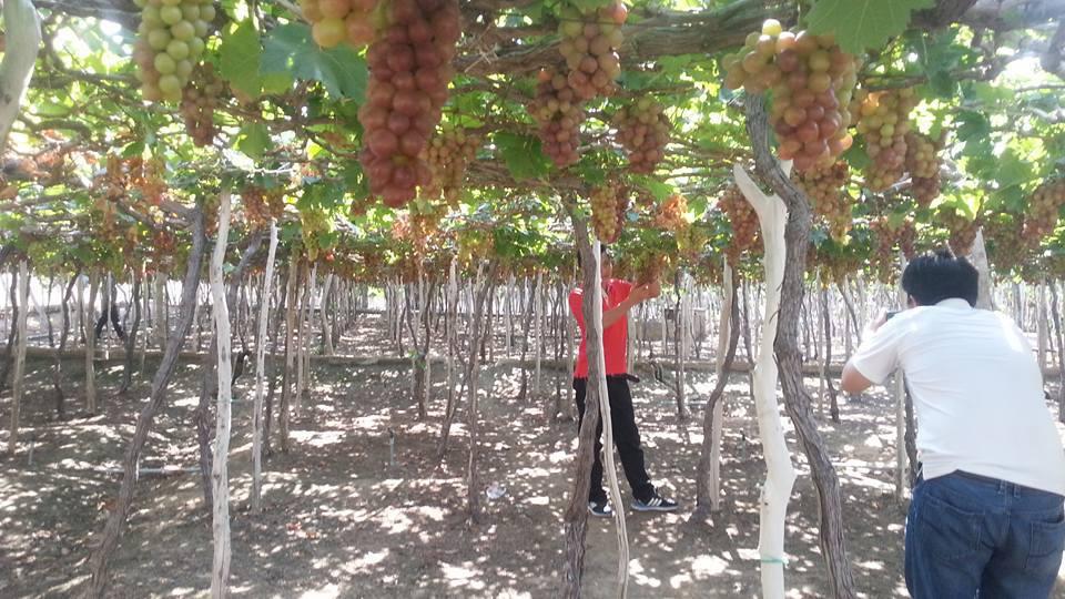 Những vườn nho sai trĩu quả dần trở thành thương hiệu du lịch nổi tiếng của tỉnh Ninh Thuận, góp phần đáng kể cho kinh tế còn nhiều khó khăn của xứ sở nắng gió này.