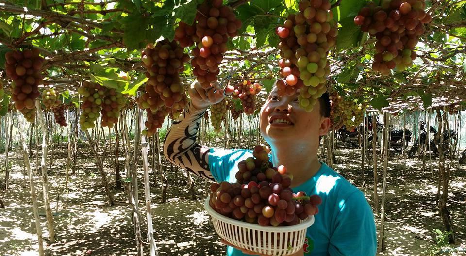 Nho Ninh Thuận là giống nho được trồng thành giàn, để khi vào bạn sẽ phải khom mình dưới những tán lá và chùm quả.Du khách đến đây được tham quan các vườn nho căng mọng nước và cùng thu hoạch với người dân địa phương.